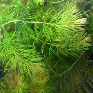zuurstofplant vijver: gedoornd hoornblad
