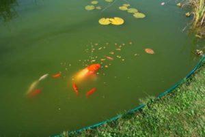 waterkwaliteit vijver: algen en groen water