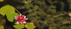 zuurstofplanten in de vijver zorgen voor helder water